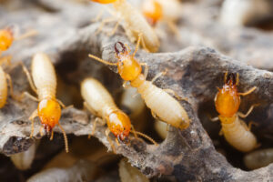 Pest control termite treatment